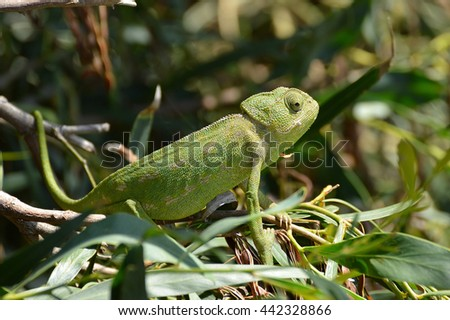 camaleon in the dunes of the lagoon park #442328866