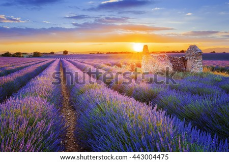 Sun is setting over a beautiful purple lavender filed in Valensole. Provence, France Royalty-Free Stock Photo #443004475