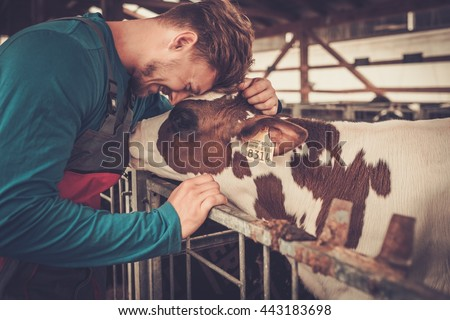 Young farmer and calf in the cowshed in dairy farm. #443183698