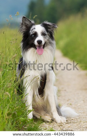 Border Collie sitting on a path #443439886
