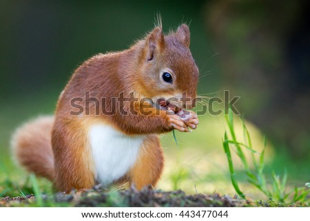 Red Squirrel #443477044