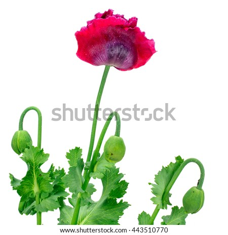 Poppy flower isolated on white background #443510770