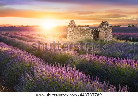 Sun is setting over a beautiful purple lavender filed in Valensole. Provence, France #443737789