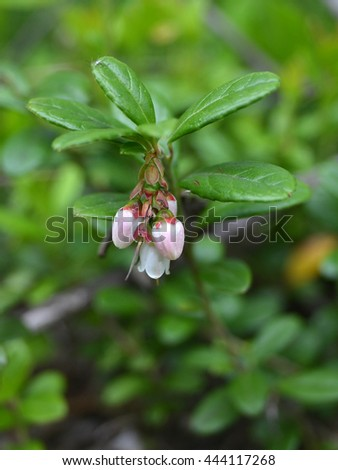 Flowering branch of red bilberry, macro. Focus on buds. The background is blurred #444117268