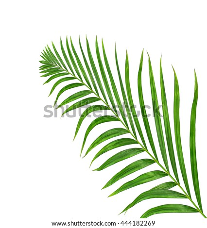 Green leaves of palm tree isolated on white background #444182269