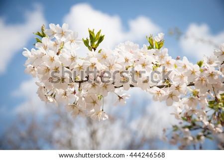 Cherry blossoms #444246568