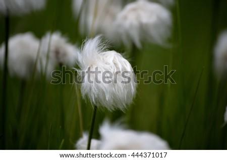 beautiful cottograss on green summer pasture #444371017