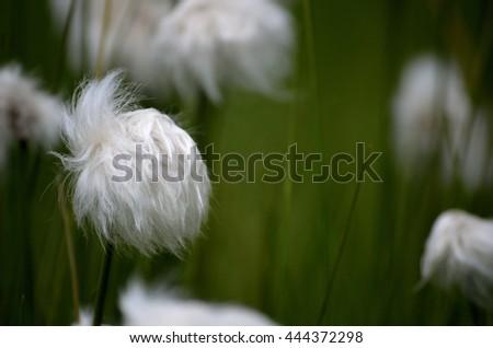 beautiful cottograss on green summer pasture #444372298
