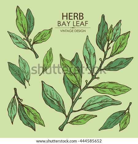 Collection of bay leaf. hand drawn Royalty-Free Stock Photo #444585652