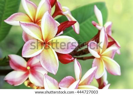 Thai flower in public park in summer. #444727003
