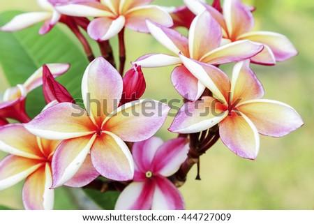 Thai flower in public park in summer. #444727009