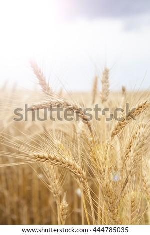 Wheat Cereal Farming Agriculture Season Food  Lens Flare #444785035