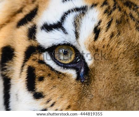 ckose look of Wild Bengal Tiger (Panthera Tigris Tigris) in Ranthambore national park, India Royalty-Free Stock Photo #444819355