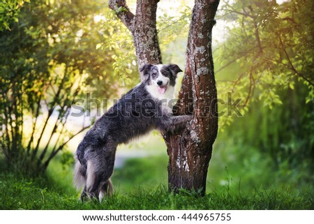 border collie dog standing with paws on a tree #444965755