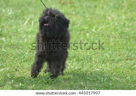 Cute small affenpinscher dog breed on a leash. #445017907