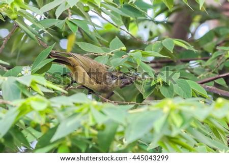 Streak-eared Bulbul  eat a fruit. Bird in Thailand. #445043299