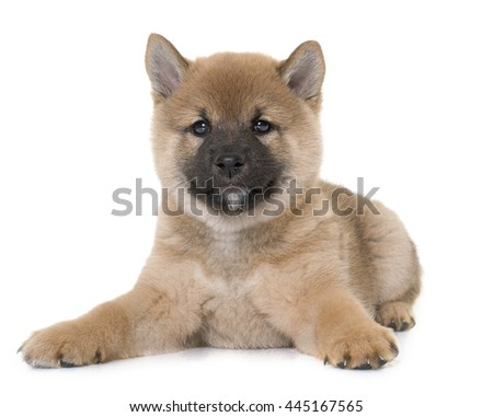puppy shiba inu in front of white background #445167565