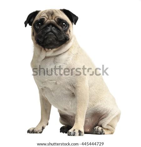 cute pug sitting in a white photo studio