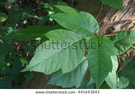 Green poison ivy in a cluster of three leaves with the typical serrated and notched appearance.