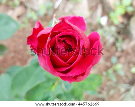 Red rose flower with leaves on the ground backgrounds ,filter image  #445762669