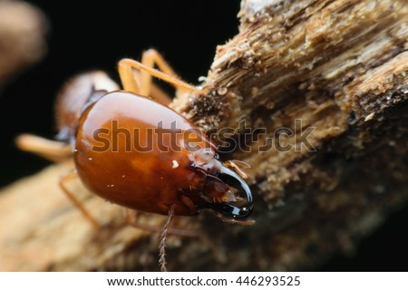 Worker and nasute termites #446293525