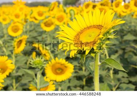 Beautiful sunflower field  #446588248
