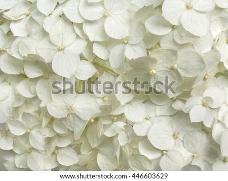 white hydrangea flowers tender romantic floral background