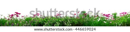 Cosmos flowers. Fresh flowers on white background #446659024