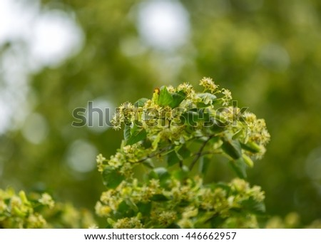 Blooming branches of lime tree (Tilia cordata) growing in Poland. #446662957