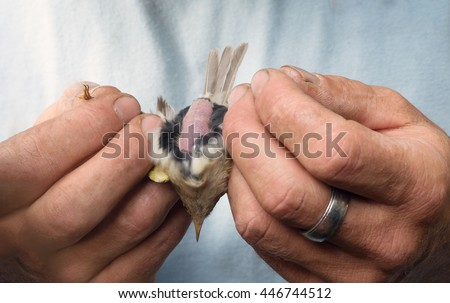 Ornithologist man hand showing bird female belly bottom close-up holding show #446744512
