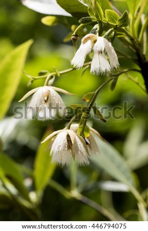 Elaeocarpus grandiflorus Sm., Flowers on tree. #446794075