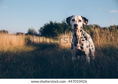 Cute Dalmatian Dog In A Cornfield #447010426