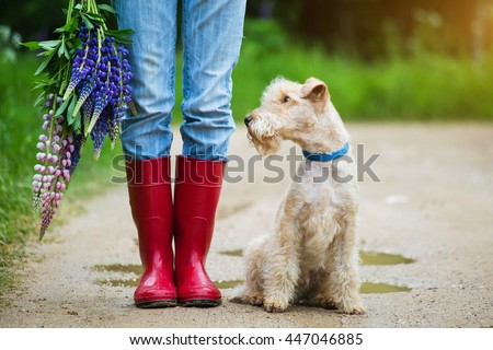 Lakeland terrier dog sitting next to a girl in jeans and red rubber boots with a bouquet of lupine flowers on a country road #447046885
