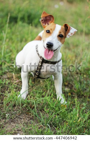 Jack Russell Terrier beautiful small cute young dog #447406942