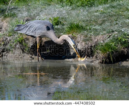 Great Blue Heron Caught a Fish #447438502