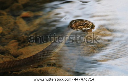 Swimming Northern Water Snake Royalty-Free Stock Photo #447476914