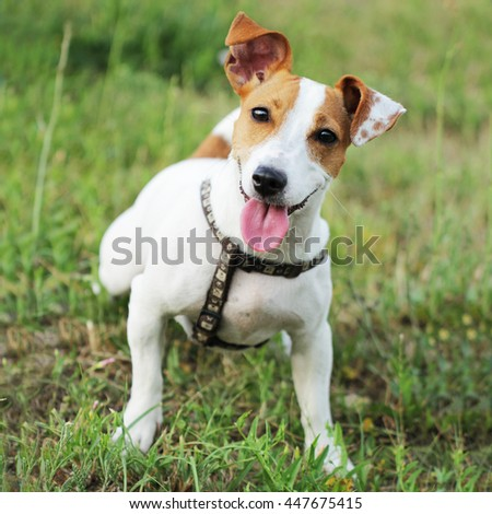 Jack Russell Terrier beautiful small cute young dog #447675415