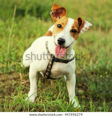 Jack Russell Terrier beautiful small cute young dog #447696274