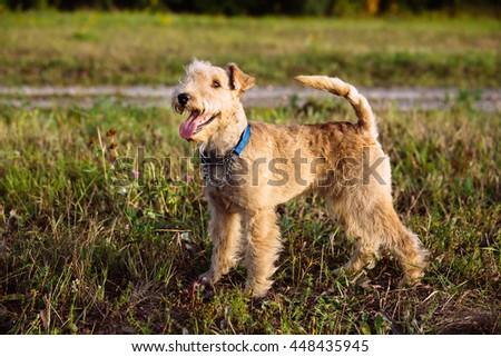 Lakeland Terrier Dog walking on the field #448435945