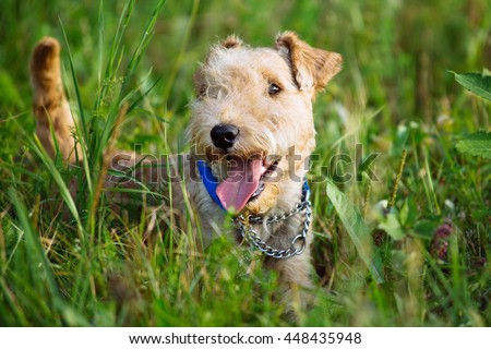 Lakeland Terrier Dog walking through the tall grass in the field on a summer day #448435948