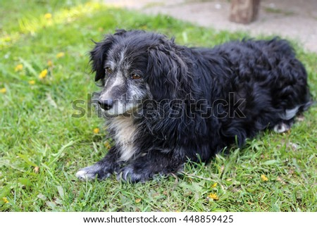 The old black dog with a gray-haired muzzle lies on a green grass. #448859425