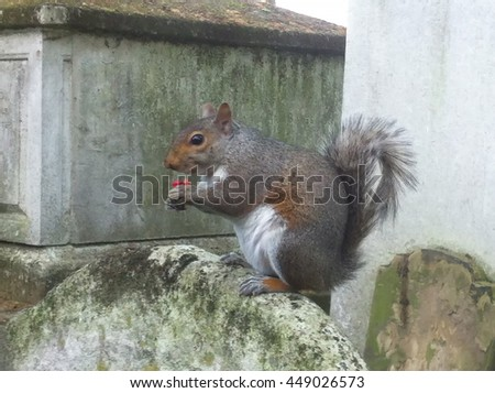 Grey squirrel eating a strawberry #449026573