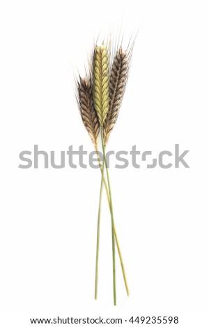Triticum monococcum Einkorn ear grain on white background #449235598