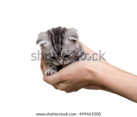American shorthair kitten is on the hands of the owner. Isolated on white background with copy space #449461000