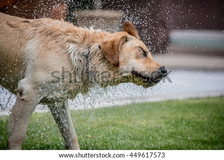 Labrador retriever on grass playing fetch, shaking water off water after having left the pool. Shot with fast shutter speed, droplets of water are visible suspended in air.