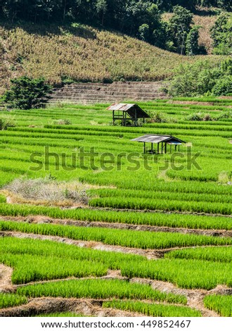 Hut on rice terrace field , rice paddy , rice plant growing in Chiangmai #449852467