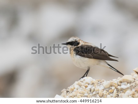 Black-eared Wheatear #449916214