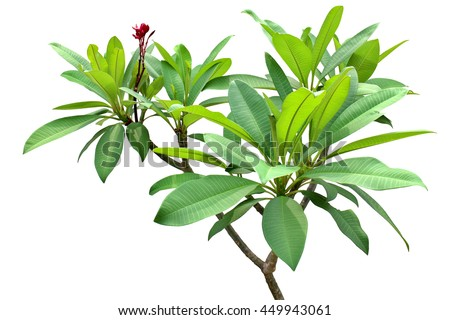 Green fresh leaf red flower isolated white background, verdant branches brown wood plant. Frangipani woody garden in sunshine, Plumeria temple forest, West Indian Jasmine and Pagoda tree. #449943061