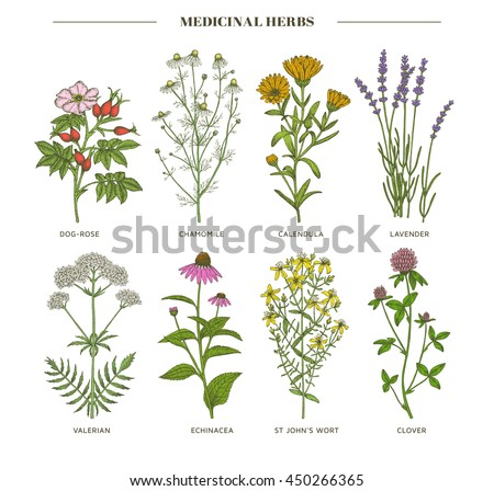 Vector hand drawn collection of medicinal, cosmetics herbs. St. John's Wort, echinacea, lavender, valerian, chamomile, calendula, dog-rose, clover plants. #450266365