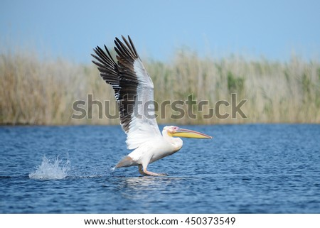 Pelican in flight #450373549